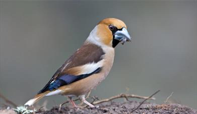 Picture of a Hawfinch