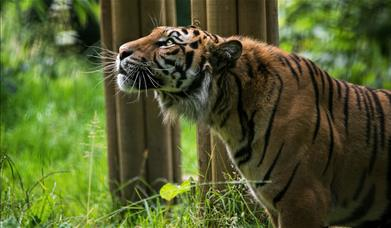 Sumatran tiger looking upwards, Welsh Mountain Zoo.