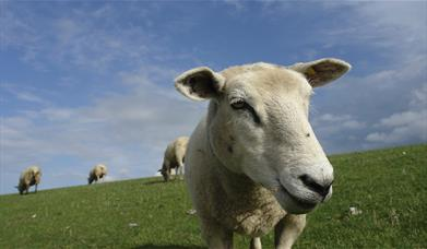 Image shows a sheep in a field with other sheep in the background